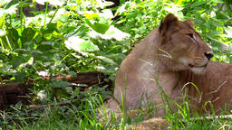 Relaxed female lion resting on green grass Footage