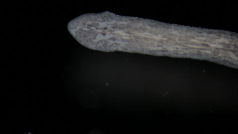Turbellaria Flatworms Planaria by microscope. Freshwater wild nature Footage