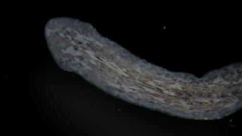 Benthic Turbellaria Flatworms Planaria by microscope. Freshwater wild nature Footage