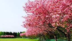 Cherry blossom floweDSCF5004 Footage