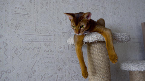 Abyssinian cat at pedestal Live Action