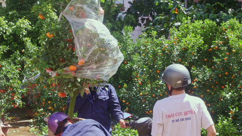Guys Load Tie Mandarin Tree Pot on Motorbike for TET Footage