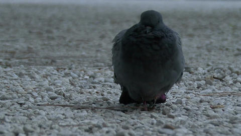 A sick pigeon sits on a stone road Footage