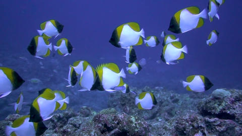 Pyramid butterflyfish GRP 01 Footage