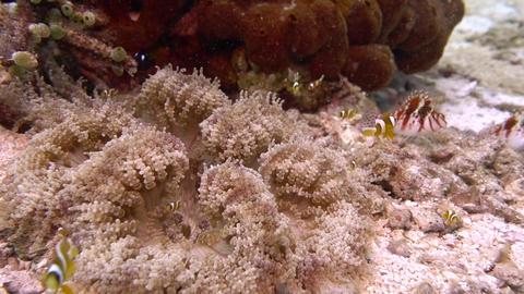 Fry of Clark's anemonefish GRP01 Archivo