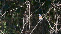 The beautiful Eastern bluebird (female) Footage