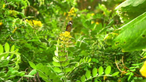 Monarch butterfly flight Live Action
