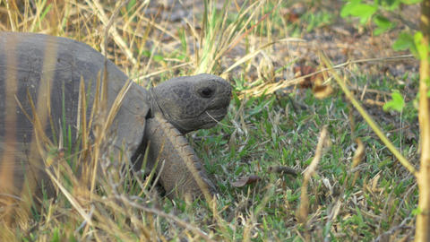 Close-Up of Gopher Tortoise in the Wild, 4K Footage