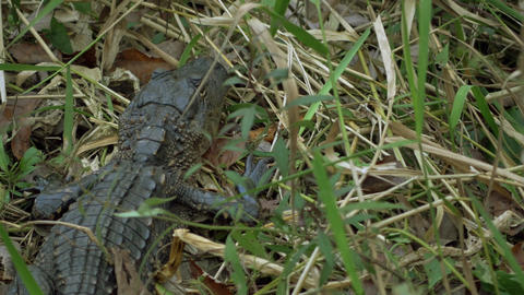 Overhead Shot of Baby Alligator Laying in Grass, 4K Footage