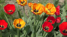 Yellow-red Tulips are swinging in the wind Footage