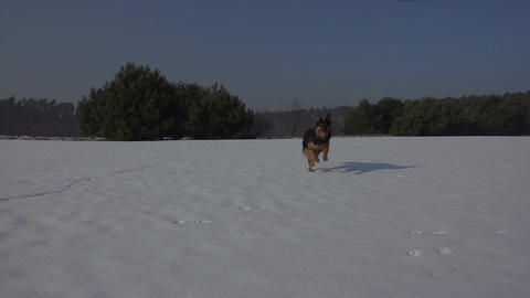Dog (German Shepherd ) running in the snow in winter. Slow motion Footage