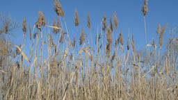 Withered Reeds Filmmaterial