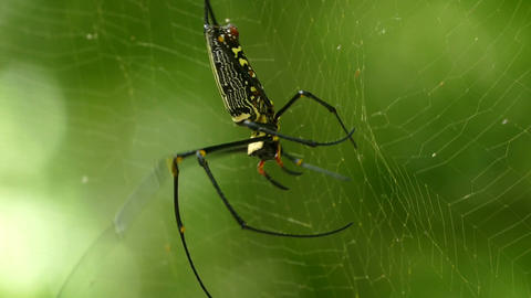 Large nephila spider with her cub on the web Footage