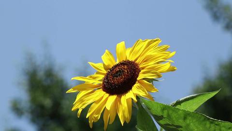 Sunflower over a blue sky Footage
