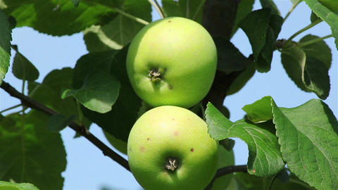 Green apples on a branch Footage
