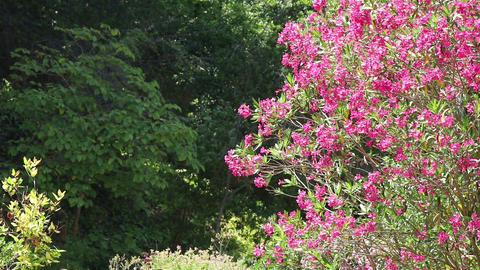 A tree with magenta flowers Footage