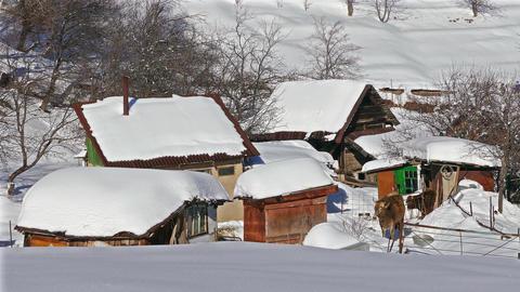 Winter Rural Landscape Scenery Cows 4K Footage