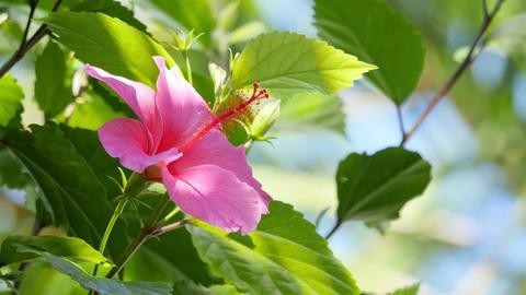 Video of hibiscus flower in 4K Footage