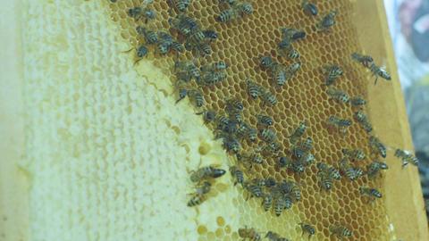 Macro Big Bees Fly near Honeycombs at Bright Sunlight Footage