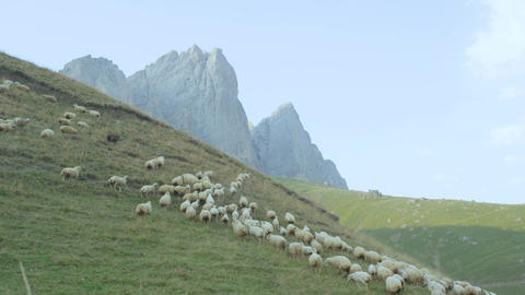 White Sheep Herd Runs along Green Meadow in Highland Footage