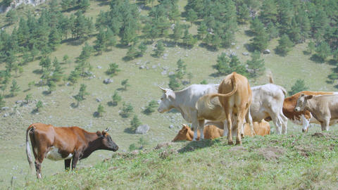 Cow Herd on Green Grass Pasture among Hills Footage