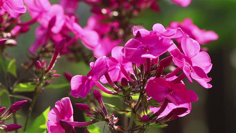 Phlox flowers close view Footage
