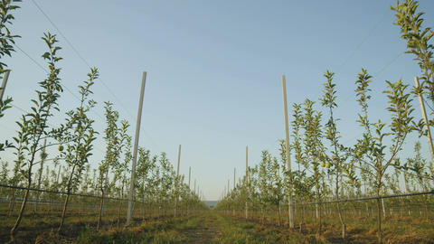 Camera Moves Slowly by Young Green Apple Trees on Plantation Footage