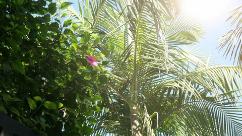 Video of hibiscus flowers and palm tree leaves in 4K Stock Video Footage