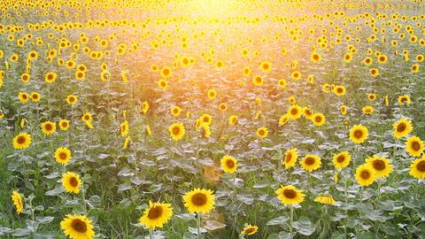 Sunflower 001 Footage
