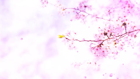 Cherry blossoms ms08 Stock Video Footage