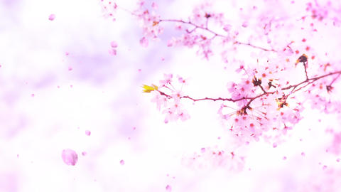 Cherry blossoms ms08 CG動画素材