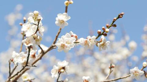 plum blossoms_梅_4K_UHD / HD / FreeSD ビデオ