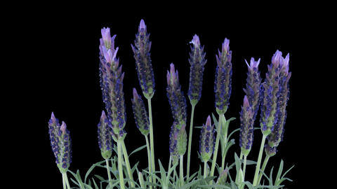 Time-lapse of growing lavender tree with ALPHA channel Footage