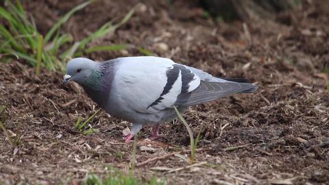 a pigeon ビデオ