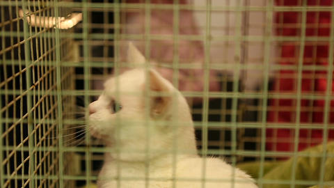 Cute white cat playing with future owner through iron cage in pet shelter ภาพวิดีโอ