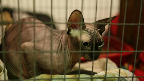 Frozen purebred hairless cat sitting in cage in animal shelter, Sphynx breed Live Action