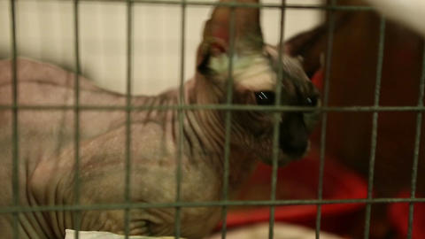 Animal shelter, hairless cat sitting in iron cage and playing with future owner Live Action