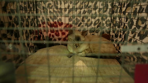 Pleased short-haired cat sleeping in cage, purebred pets exhibition, animals Live Action