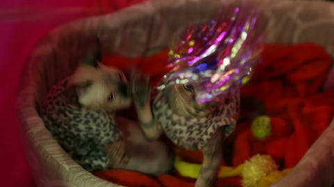 Two pretty Sphynx kitten playing with owner, paws catching cat toy, exhibition Live Action
