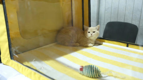 Funny white kitty lying in pet's house and watching people at cat exhibition Live Action