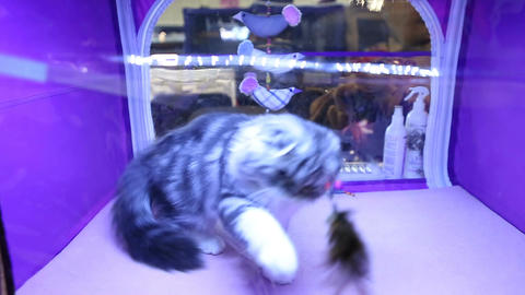 Funny Highland Fold kitten playing with pet toy, cat exhibition, expensive breed Footage