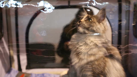 Long-haired Maine Coon cat waiting vet reception in clinic, animal health care Footage
