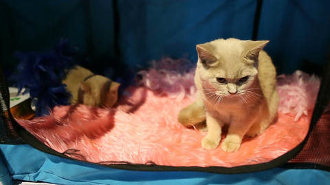 Beautiful short-haired kitty grooming itself in pet's house at cat show Footage