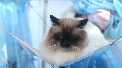 Owner's hands taking sleepy Birman cat away, purebred pet exhibition, show Footage