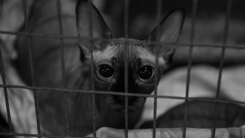 Scared homeless Sphynx cat sitting in cage at pet shelter, animal rescue Live Action