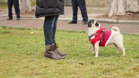 Owner feeding pet outdoors, encouraging smart dog for good tricks, wrinkly pug Footage