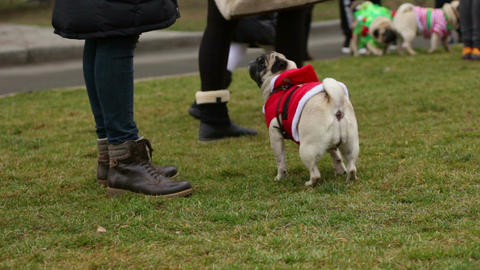 Curious pug wearing Santa-style coat looking at dogs around, sitting on grass Footage