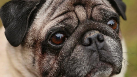 Close-up of dog's faithful eyes, wrinkly pug looking up, waiting for command Footage