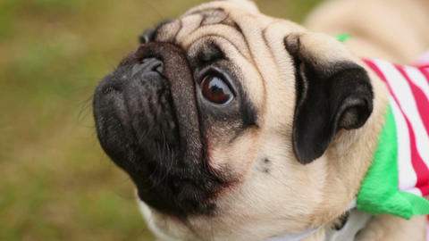 Nice pug looking up, sniffing and shaking head, dog enjoying walk outdoors Footage