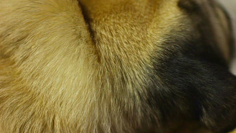 Dog's thick short hair closeup, grooming products for animals, veterinary care Footage